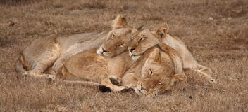 Lions sleeping. Young lion and two lionesses sharing a snooze Stock Photo