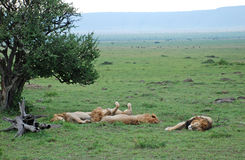 Lions sleeping in The Maasai Mara National Reserve, Kenya Stock Photo