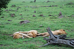 Lions sleeping in The Maasai Mara National Reserve, Kenya Royalty Free Stock Photo