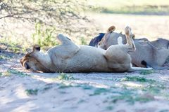 Lions sleeping in the shade of a tree in the Kgalagadi Park stock photo