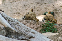 Lions Sleeping Royalty Free Stock Photos