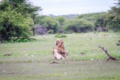 lions som parar ihop par Arkivfoton