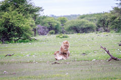 lions som parar ihop par Arkivbild