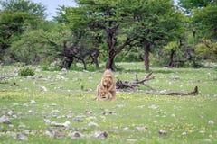 lions som parar ihop par Royaltyfria Bilder