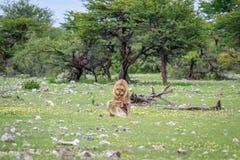 lions som parar ihop par Fotografering för Bildbyråer