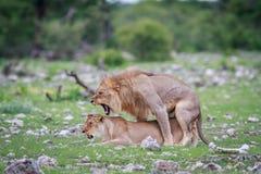 lions som parar ihop par Royaltyfria Foton