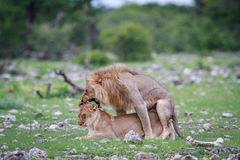 lions som parar ihop par Royaltyfri Fotografi