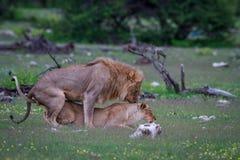 lions som parar ihop par Royaltyfri Foto