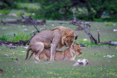 lions som parar ihop par Arkivfoto