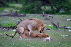 lions som parar ihop par Arkivbilder
