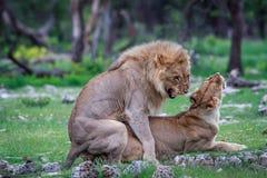 lions som parar ihop par Royaltyfri Bild