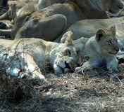 Lions somnolents Images libres de droits
