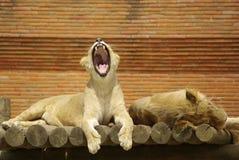 Lions somnolents Image libre de droits