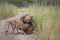 Lions in South Africa Stock Photos