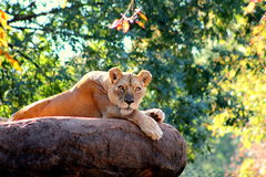 Lions stare Stock Photography