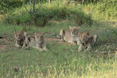 Lions starving. Three young males lions and a lioness looking very thin, lying on the ground in a game reserve, in South Africa royalty free stock image