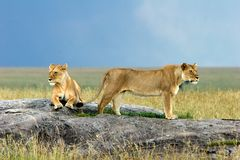 Lions on a Stone Stock Image