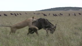 Lions successfuly hunts a wildebeest stock video