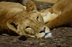 Lions is sunbathing cub. Lions is sunbathing together on tail Royalty Free Stock Photography