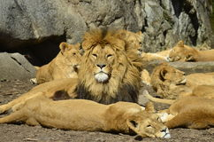 Lions is sunbathing. Together and some is sleeping Royalty Free Stock Photo