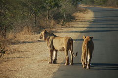 Lions on sunrise. South Africa - Kruger National Park - Two lions watching sunrise on road Stock Photo