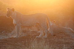 Lions at sunset Royalty Free Stock Photos
