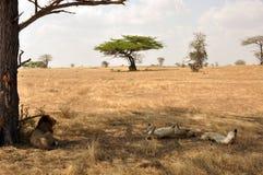 Lions sur la savane Photos stock