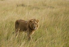 Lions sur la savane africaine dans le masai Mara Photos libres de droits