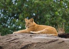Lions sur la savane africaine dans le masai Mara Images stock