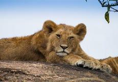 Lions sur la savane africaine dans le masai Mara Photographie stock libre de droits