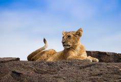 Lions sur la savane africaine dans le masai Mara Photo libre de droits