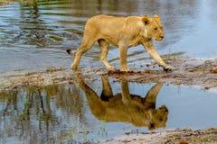 Lions sur une chasse à matin Photos stock