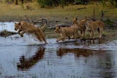 Lions sur une chasse à matin Images stock