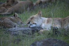 Lions taking afternoon nap stock image