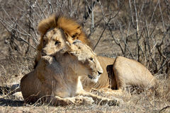 Lions taking a break during mating session. These lions were photographed during a break in an intense mating session in Kruger National Park in South Africa royalty free stock images