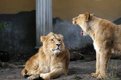 Lions talking Royalty Free Stock Images