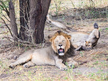Lions in Tarangire National Park, Tanzania Royalty Free Stock Photos