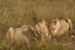 Lions feeding. A young male lion and lioness concentrate on chewing tasty morsels of the remains of a kill, in the grass, on the savannah of Botswana stock photo