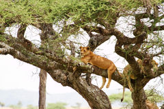 Lions in tree. Lions laying on branches of tree in Africa Stock Photography