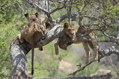 Lions on Tree (Panthera leo) Stock Image