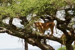 Lions in tree Stock Photo