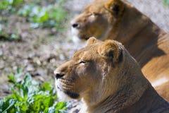 lions två Arkivbilder