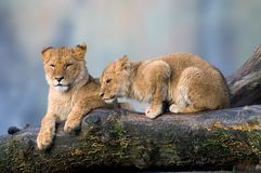 Lions, two kittens. Two lion kittens - one relaxing, one crouching. Sitting on a branch Stock Photography