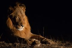 Male lion at night stock photo