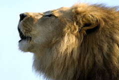 lions vrålar Royaltyfri Foto