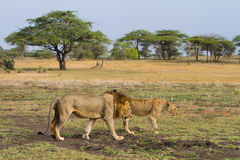 Lions walking Royalty Free Stock Photo