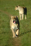 Lions walking. A beautiful African lioness yawning and walking in a game reserve in South Africa. Another magnificent lion is standing in the background. This is Stock Photography