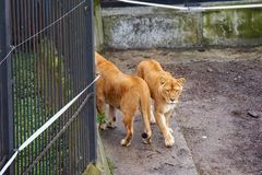 Lions walking in the zoo. stock image