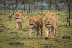 Lions Walking. Pride of lions on the move Stock Image