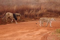 Lions. Wild lions crossing the road on an African reserve Stock Photography